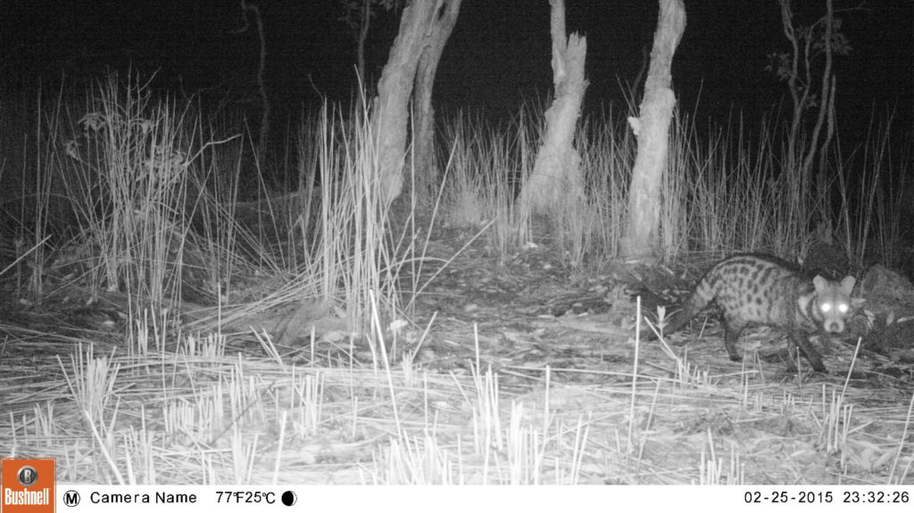 Vulnerable (VU) Large-Spotted Civet (Viverra megaspila)