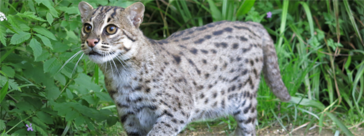 Fishing Cat habitat part of new protected area network