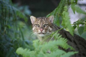 Fishing Cat Neville Buck 1