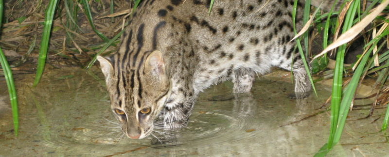 Fishing Cat investigating the water for prey Photo credit: Neville Buck