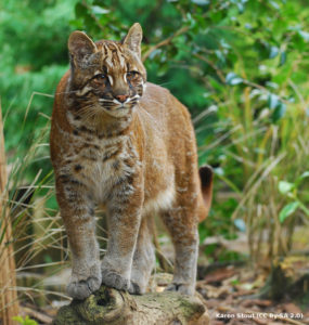 Asiatic Golden Cat by Karen Stout (CC by SA 2.0)
