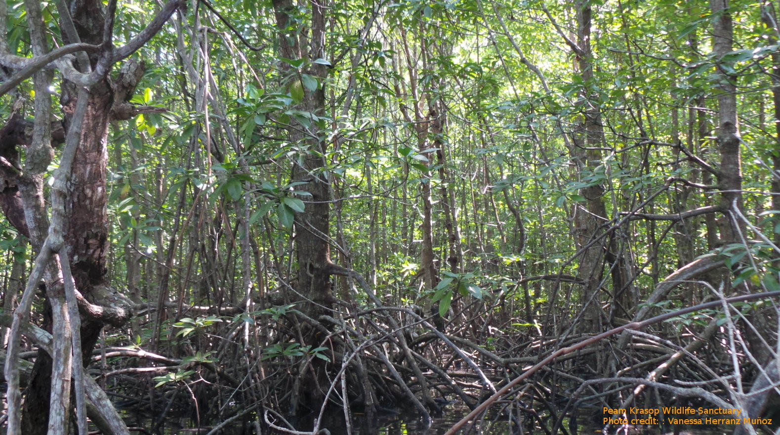 In Praise of Mangroves \u2013 Cambodian Fishing Cat Project