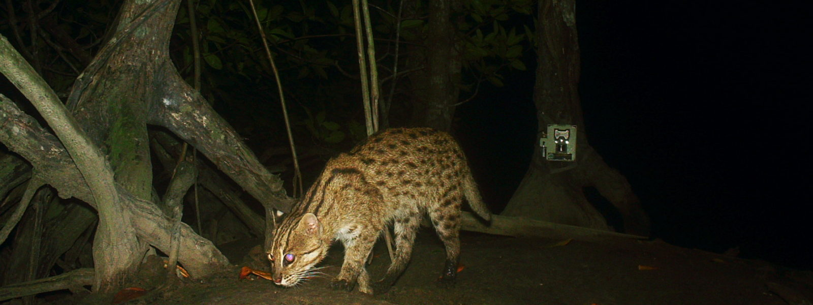 Fishing Cat still prowl PKWS
